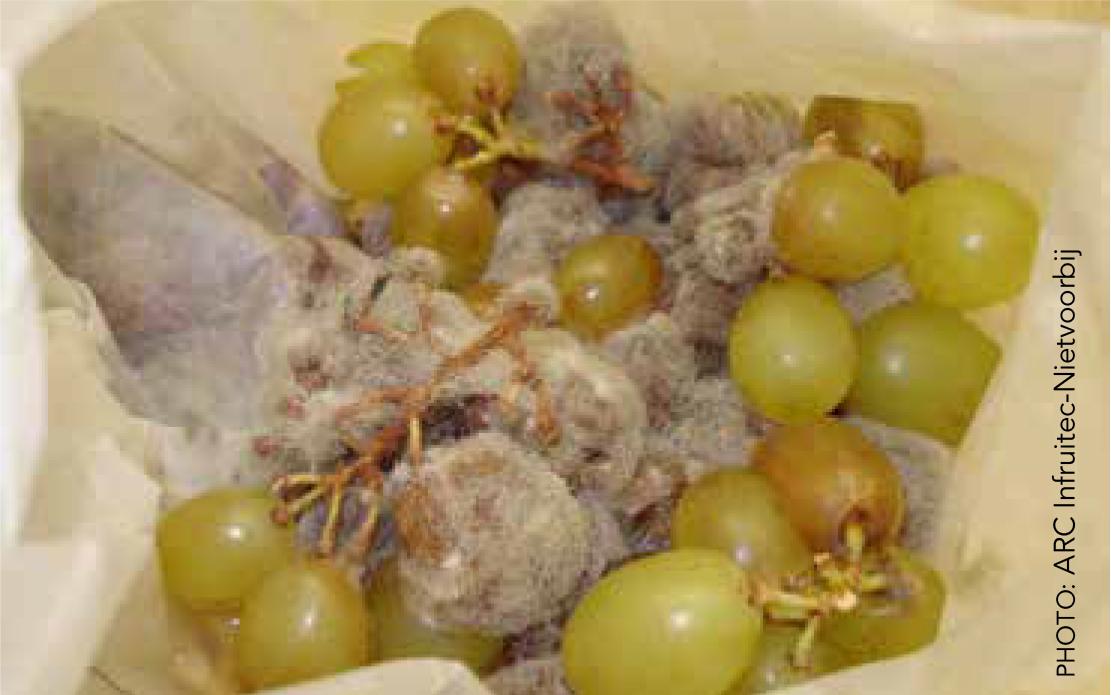 Botrytis Cinerea In Grape Bunches