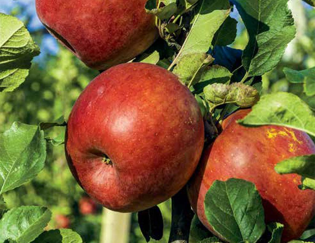 Sa Fruit Journal 2021 04 M Apples Red