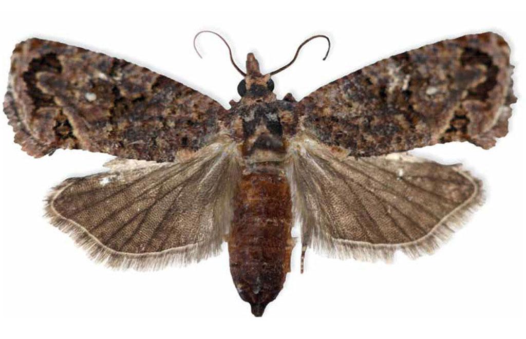 Sa Fruit Journal June July 2021 Blue Bug Adult False Codling Moth Web Main