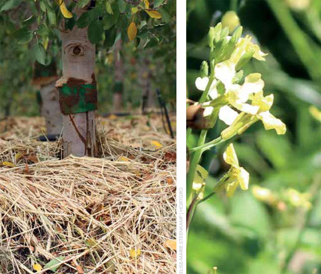 Sa Fruit Journal June July 2021 Cover Crop Trials Main